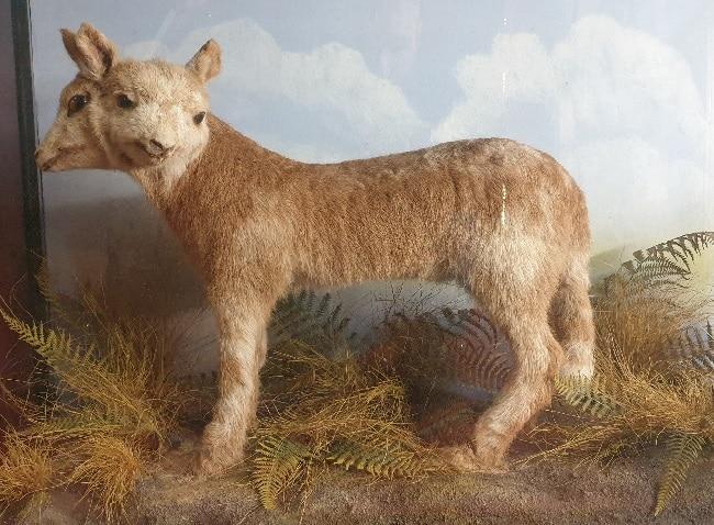 גדי בעל שני ראשים במוזיאון המוזר של ויקטור ווינד