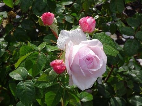 ורדים בלונדון - עותק