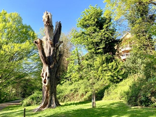אחד מהעצים העתיקים בפארק קלסי